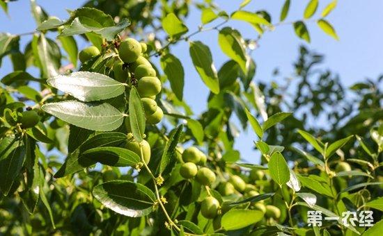 枣树种植怎么修剪 枣树不同生长期的修剪方法