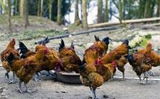 养鸡离不开哪些鸡饲料?