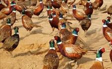 山鸡什么时候开始产蛋?人工进行山鸡养殖产蛋多少?