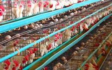 商品标准蛋鸡一年产下多少鸡蛋?