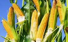 今年我国玉米种植面积减少了33万公顷 以缓解库存过剩的局面
