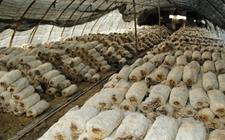 """永州江华:""""政府+公司""""扶持食用菌种植 带动农户就业增收"""