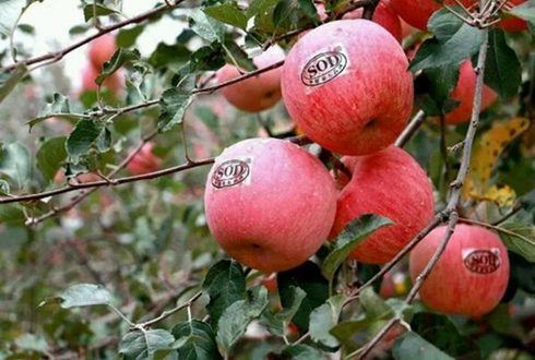 """灵宝苹果让老百姓钱袋子""""鼓""""起来"""