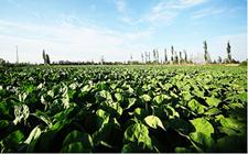 云南砚山:蔬菜产业成就贫困户增收致富梦想