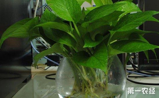 水培绿萝怎么养?水培绿萝的养殖方法和注意事项