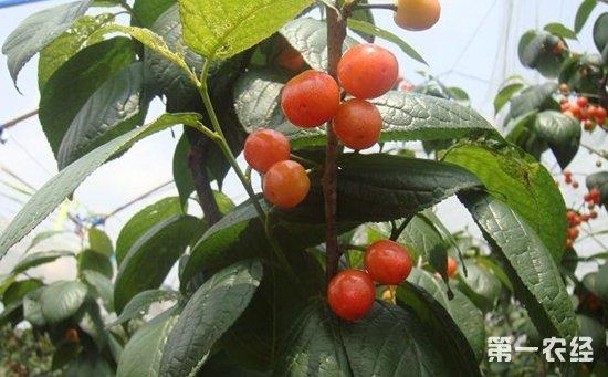 如何种植樱桃树 大棚樱桃树的种植技术图片