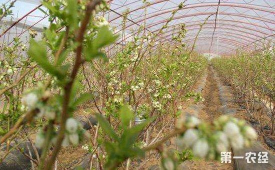 大棚蓝莓怎么种植 温室大棚蓝莓的栽培技术要点