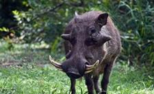 <b>疣猪</b>