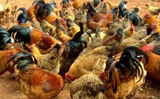 2017年12月21日最新鸡蛋价格行情 淘汰鸡价格行情 白羽肉毛鸡价格行情