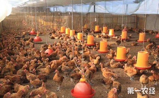 产蛋鸡产蛋前期的饲养管理要点是什么?