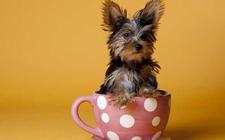 茶杯犬是怎么来的?茶杯犬是怎么培育的?茶杯犬为什么长不大?