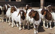 嘉鱼鱼岳镇:山羊养殖助力农户实现脱贫