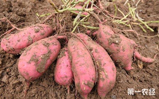 2017年12月21日全国红薯价格