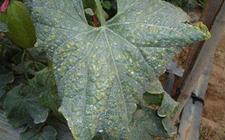 哈密瓜细菌性叶斑病怎么治?哈密瓜细菌性叶斑病的防治方法