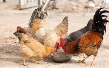 2017年12月22日最新鸡蛋价格行情 淘汰鸡价格行情 白羽肉毛鸡价格行情