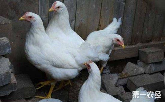 年产蛋率高的蛋鸡品种有哪些?