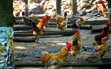 丛林养鸡有什么讲究?