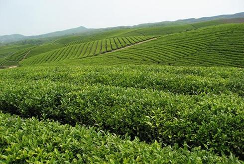 从木匠到茶商——闵继武的白茶致富经
