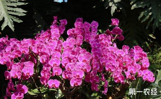 蝴蝶兰怎么繁殖?蝴蝶兰常见的繁殖方法