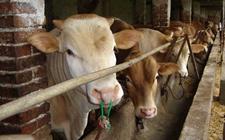 <b>牛鼻子出血了怎么办?牛鼻出血的治疗方法</b>