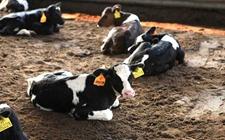 <b>牛前胃弛缓怎么办?牛前胃弛缓防治方法</b>