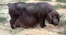 黄淮海黑猪