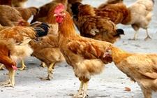 2017年12月26日最新鸡蛋价格行情 淘汰鸡价格行情 白羽肉毛鸡价格行情
