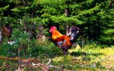 <b>农妇阿门:山林养鸡致富创佳话 年收入可达4万元</b>