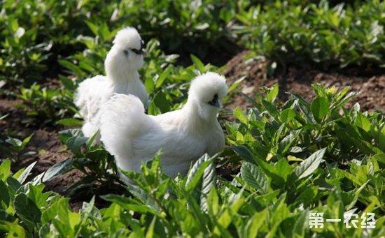 药用观赏型鸡品种——泰和鸡