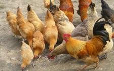蛋鸡育成期总耗鸡饲料量是多少?