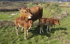 <b>母牛不孕怎么办?母牛不孕症的治疗方法</b>