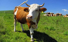 奶牛冬季要怎么预防冻害?冬季奶牛防冻害方法介绍