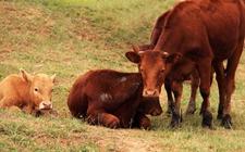 牛患上酮血症怎么办?牛酮血症的症状以及防治