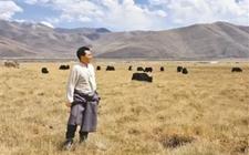 曲噶:牦牛育肥让村民鼓起腰包