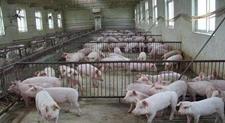 建设现代猪场在建筑和布局上有什么要注意