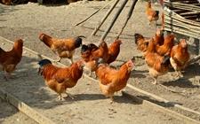 2017年12月27日最新鸡蛋价格行情 淘汰鸡价格行情 白羽肉毛鸡价格行情
