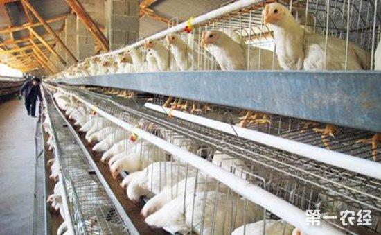南阳:正大禽业时隔三年再次引起加拿大种鸡9000只