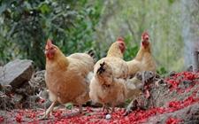 鸡的生理代谢特点是什么?