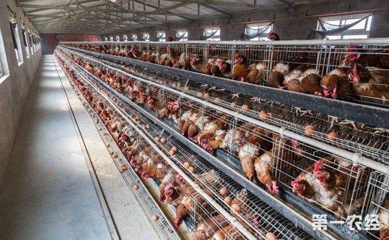 寒冷冬季蛋鸡该怎样饲养好?