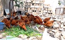 散养鸡三个生长阶段的饲养管理关键点是什么?