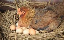 母鸡不愿在鸡窝下蛋怎么办?