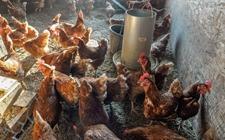 蛋鸡什么时候适宜更换鸡饲料?