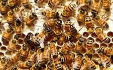 <b>蜜蜂得了麻痹病怎么办?蜜蜂麻痹病防治方法</b>