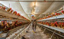 <b>在农村养鸡有补贴可以拿吗?农村养鸡政策</b>