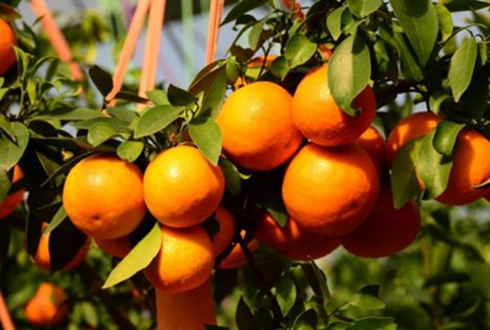 """象山柑橘成了种植户的""""致富果"""""""