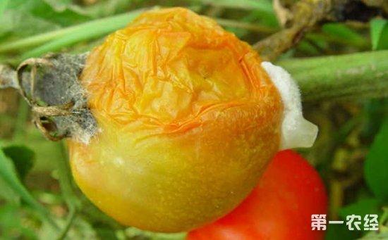 番茄绵腐病怎么治?番茄绵腐病的防治方法