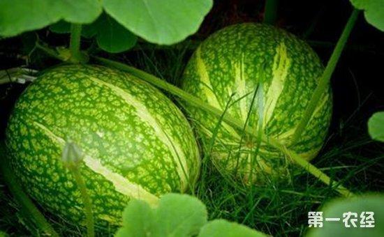 金丝瓜怎么种植?有机金丝瓜的无土栽培技术