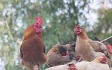 2017年12月28日最新鸡蛋价格行情 淘汰鸡价格行情 白羽肉毛鸡价格行情