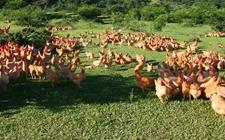 什么时候适合进行滩区放养土鸡?