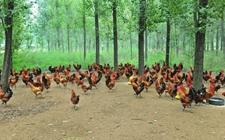 林下养鸡一般什么时候出栏?